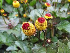 60 graines Brèdes Mafane(Spilanthes Oleracea)Acmella H852 TOOTHACHE PLANT SEEDS