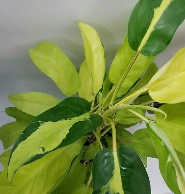 Philodendron Thai Sunrise Live Plant In A 6 Inch Growers