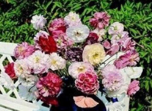 Fleur-Papaver-Angel Choir 2500 graines-en vrac
