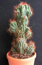 8 graines CIERGE DU PEROU (Cereus Peruvianus Monstrosus) SEED SEMILLA SEMI Z890