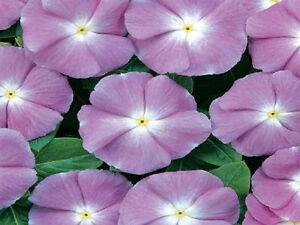 50-Vinca-Seeds-Sunsplash-Blue-Seeds