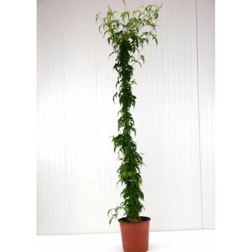 Pianta Gelsomino Polyanthum eretta su canna Vaso 18cm