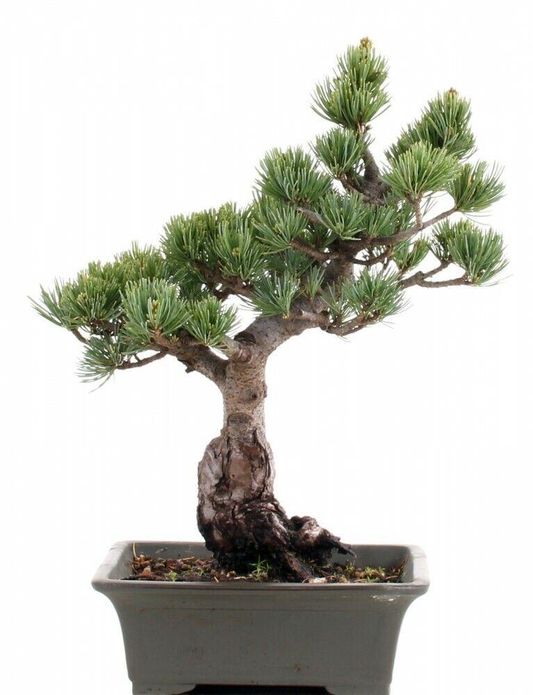 Bonsai - Pinus Parviflora, Mädchenkiefer   198 53