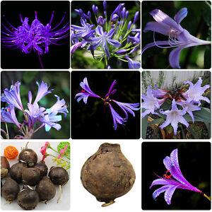 2pcs sch nen lila amaryllis zwiebeln bonsai samen home. Black Bedroom Furniture Sets. Home Design Ideas