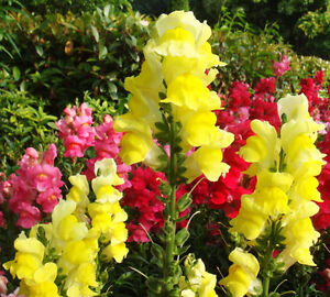 Details about 60 Yellow Snapdragon Seeds Common Snapdragon Garden Flowers