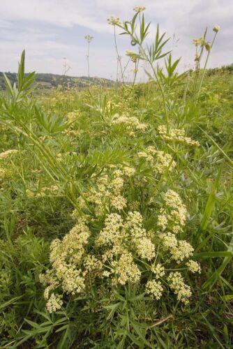 Fleur sauvage britannique-pepper-saxifrage 500 graines-Gros emballage silaum silaus
