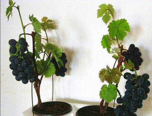 Zwergbaum-Japanisch-Weintrauben-Obst-Bonsai-rot-blaue-Trauben Restposten