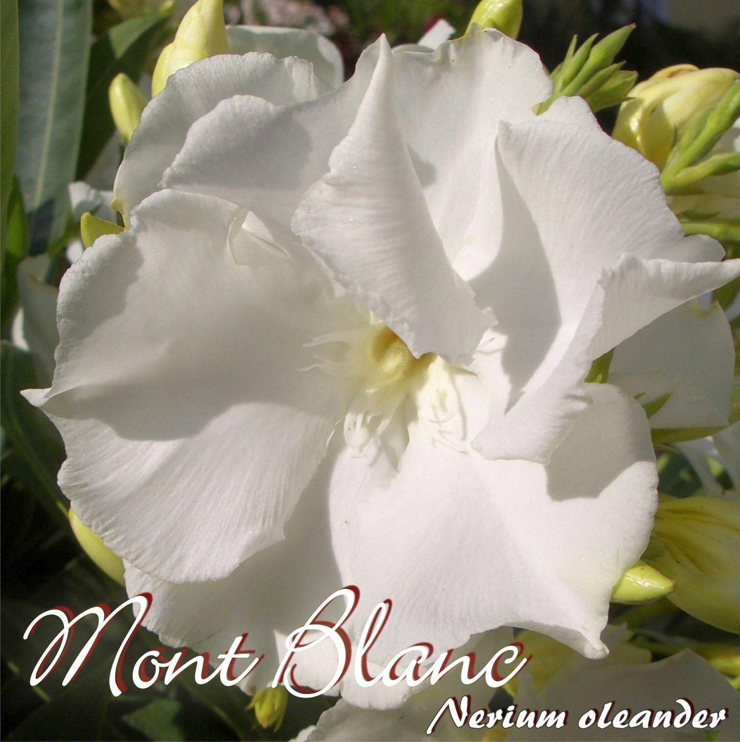 Adelfas  Mont blanco  - Nerium Adelfas - Talla C08