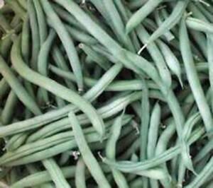 BEAN, PROVIDER BUSH, HEIRLOOM, ORGANIC 20+ SEEDS, NON GMO, GREEN BEANS VEGETABLE