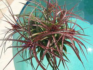 Image is loading Bromeliad-Tillandsia-Sparkler-hanging -ball-Tropical-Air-Plant