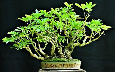 Schefflera Arboricola Dwarf Umbrella Tree Seeds 20 Tropical Indoor Bonsai Plants Seeds Bulbs Other Plants Seeds Bulbs