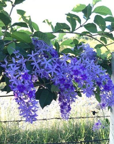 mediatime.sn Other Plant Seeds & Bulbs Plant Seeds & Bulbs Purple ...