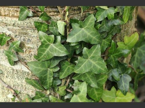 Hedera Hibernica 4 graines de LIERRE D/' IRLANDE H368 IRISH IVY SEEDS SAMEN SEMI