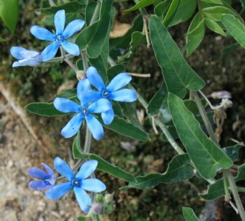 Tweedia caerulea Southern Star Blue Young Plant 9cm pot Climbing Shrub