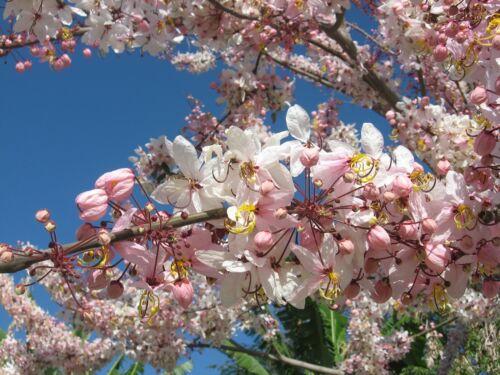 15 x doccia rosa Semi di Albero Cassia Bakeriana
