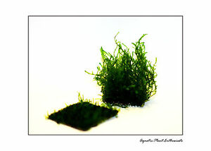 Flame-Moss-On-Wire-Mesh-EASY-AQUARIUM-PLANT-Taxiphyllum-Sp-Rare