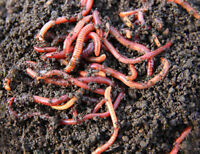 500 Live Red Wiggler Worms Organic For Composting Fish Food Or Fishing Bait
