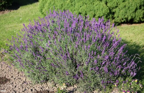 Genuine Lavender ca.150 Seeds Lavandula Angustifolia Perennial//Winter Hardy