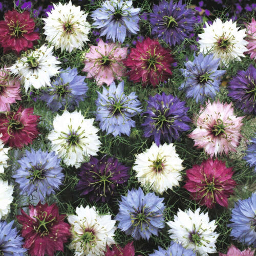 Nigella Persian Jewels Mix Seed Hardy Annual Reseeds Easily Grown Love in a Mist
