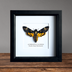 Death-039-s-Head-Hawkmoth-in-Box-Frame-Taxidermy-Insect-Moth-Butterfly-Art-Interior