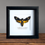 Death-039-s-Head-Hawkmoth-in-Box-Frame-Taxidermy-Insect-Moth-Butterfly-Art-Interior Indexbild 1