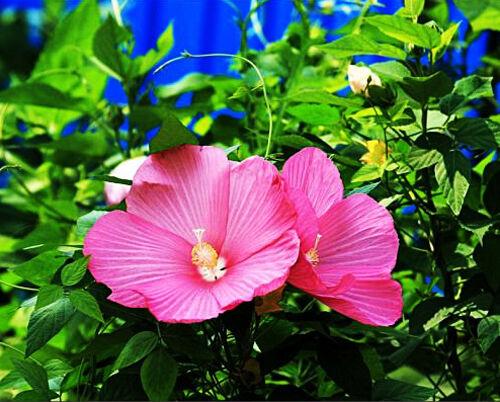 25 Hibiscus Moscheutos Seeds Hibiscus grandiflorus Garden Flowers