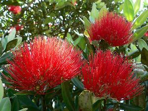 New Zealand Christmas Tree Red Flowering 575 Seeds Groco