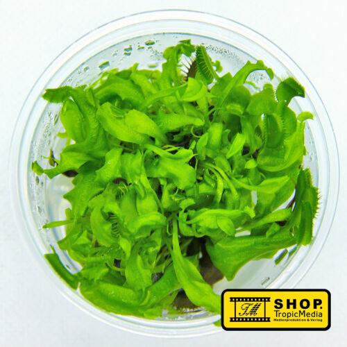/% Venusfliegenfalle /% Fleischfressende Pflanze /% Dionaea muscipula /% L InVitro /%