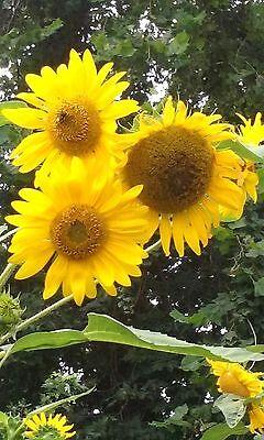 Tall 12-15 Ft Pikes Peak Sunflower Seeds World/'s Largest Sunflower Seeds
