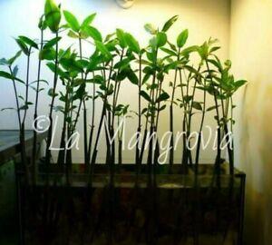 Seme-Mangrovia-Rossa-pianta-filtrante-acquario-dolce-e-marino-Live-Mangrove-seed