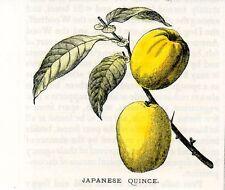 Stampa antica frutta COTOGNA del GIAPPONE Japan 1903 Old antique print