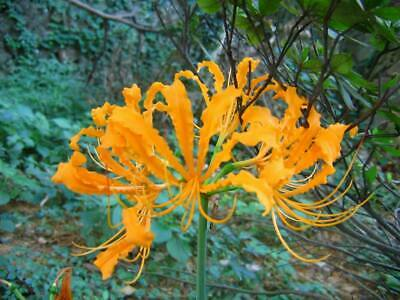 Perennial Spider Lily Lycoris Bulbs Yellow Flowers Pretty Home Courtyard Decor