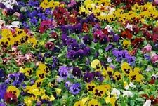 Pansy Swiss Mix (Viola Tricolor Maxima) Mixed colors- 50 seeds