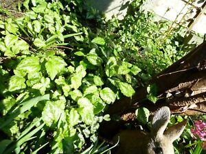 3 x Golden Dead Nettle BARE ROOT plant Lamium galeobdolonin