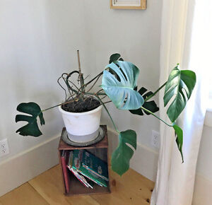 how to start a philodendron from a cutting