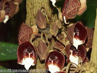 Gespensterpflanze toller Ranker 5 Samen