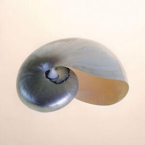 COASTAL SHELL ART PRINT Conch by Tom Artin 14x11 Beach Photo Poster