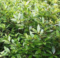 -- Lorbeer Baum Echter Lorbeer Gewürzpflanze Laurus Winterhart -75-80- Cm--1