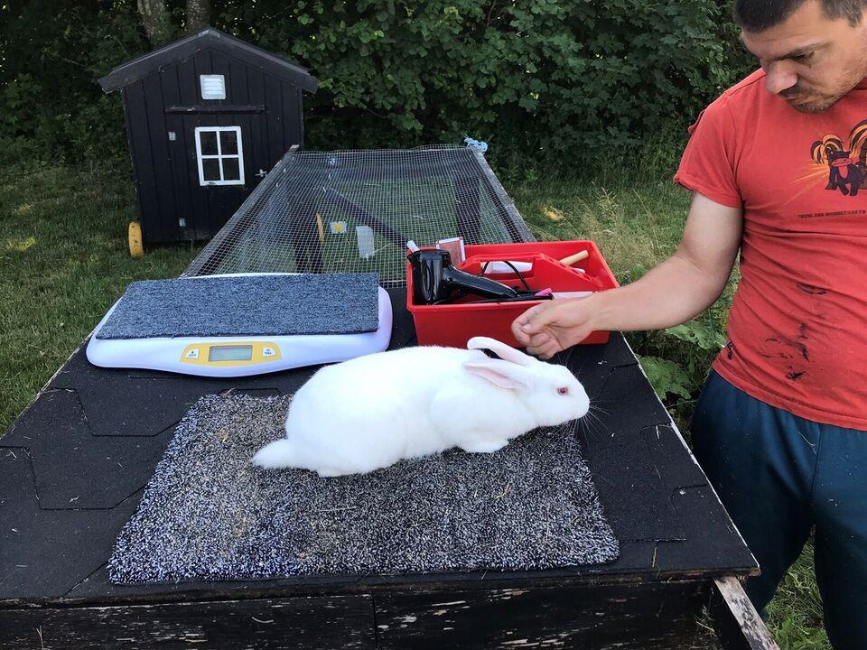 Kanin, Hvid land, 0 år