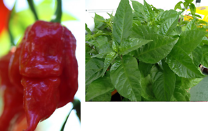 OZ-Brain-Killer-Chilli-Plant-One-of-the-Hottest-in-the-World