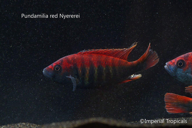 (5) 1 -2  Unsexed Pundamilia Nyererei - African Cichlid Haplochromis Victoria