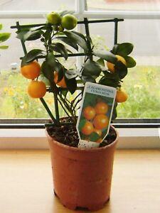 Dwarf Scent Kumquat Orange Citrus Fruit Tree House Plant @ Pot & Animal Waterer