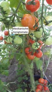Mexikanische-Honig-Tomate-10-Tomaten-Samen-Ernte-2020-aus-bio-Anbau-Nr-118
