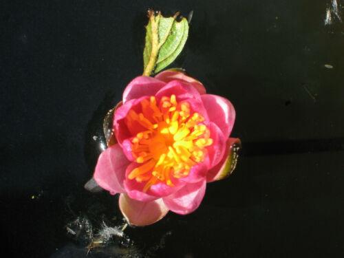 Zwerg-Seerose Nymphaea pygmaea Rubra Seerosen Teichpflanze