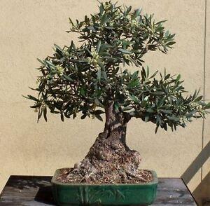 30 semi di olivo olea europea pre bonsai spedizione for Acquisto piante ulivo