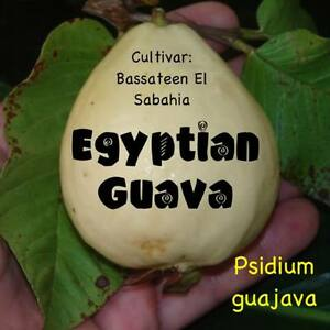 EGYPTIAN-GUAVA-Fruit-Tree-cv-Bassateen-El-Sabahia-LIVE-potd-sml-starter-Plant