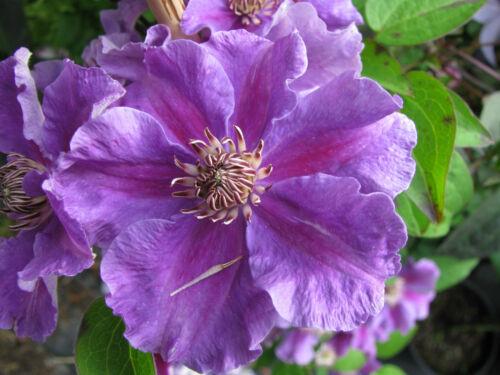 Waldrebe Clematis Hybride Ashva 40-60cm großblumiger Sommerblüher