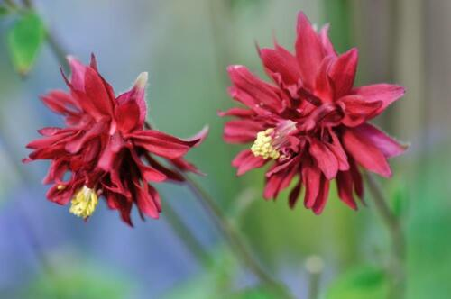 Aquilegia /'Ruby Port/' 20 Seeds Burgundy red Flowers Double Granny/'s Bonnet