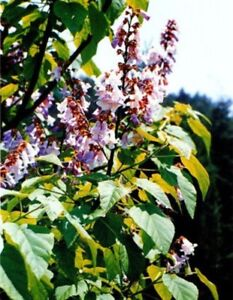 paulownia fortunei le dragon tree 50 fresh seeds tr s. Black Bedroom Furniture Sets. Home Design Ideas
