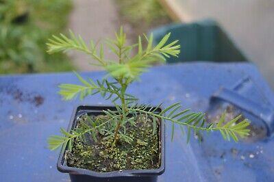 1 Giant Redwood tree 20cm 9cm pot